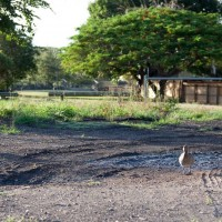 A duck lingers around a drying pond on Frew Park